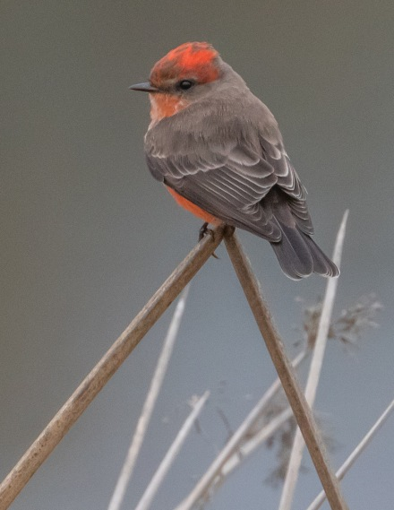Vermilion Flycatcher (C. Tosdevin 10-19-20)